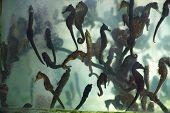 image of seahorse  - Asian specialties Seahorse in the restaurant aquarium  - JPG