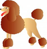 picture of chocolate poodle  - vector illustration of brown poodle isolated on white background - JPG