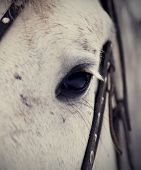 picture of  horse  - An eye of a white horse in a harness - JPG
