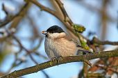 image of tit  - Marsh Tit resting and eating on a branch in its habitat - JPG
