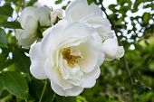 stock photo of rose close up  - Close up of a white rose in a garden - JPG