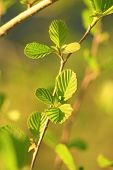 stock photo of alder-tree  - young leaves of alder in the spring - JPG