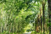 pic of row trees  - Road Between Row of expired para rubber tree and palm tree - JPG