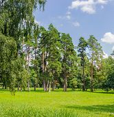 stock photo of conifers  - Clearing in the park among the conifers and deciduous trees on the background of the sky with clouds - JPG