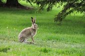 pic of hare  - Wild hare on grass in the forest in summer day - JPG