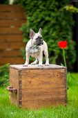 stock photo of french bulldog puppy  - young french bulldog puppy outdoors in summer - JPG