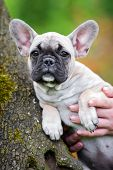 image of french bulldog puppy  - young french bulldog puppy outdoors in summer - JPG