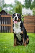 stock photo of greater  - one greater swiss mountain dog outdoors in summer - JPG