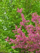 stock photo of canada maple leaf  - Crabapple blossoms in the spring with green maple leaf trees in the background - JPG