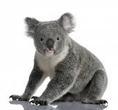 picture of koala  - Young koala - JPG