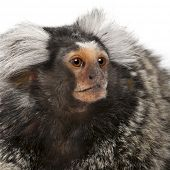 stock photo of marmosets  - Common Marmoset - JPG
