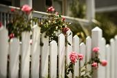 Pink roses growing over white picket fence.
