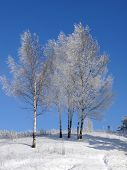 Group Of Frosty Trees On Sunny Day poster