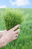 stock photo of horsetail  - Large bouquet from the field medicinal horsetail - JPG