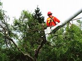 picture of cherry-picker  - an orange garbed worker trims top of tree as he works from a cherry picker - JPG
