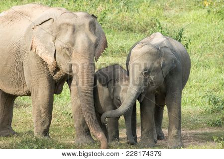 Asiatic Elephant Is Big Five