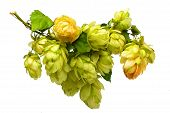 pic of hop-plant  - beautiful branches hop isolated on white background - JPG