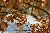 Oak bead, oak apple, oak, hack on spring background. poster
