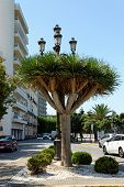 Old Tree Of Variety Dracaena Draco In Cadiz, Andalusia, Spain. It Is A Subtropical Tree-like Plant T poster