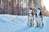 Beautiful Portrait Two Husky On Winter Background. Portrait Beautiful Red And Black Siberian Husky.  poster