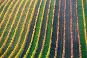 Rows Of Vineyard Grape Vines. Autumn Landscape With Colorful Vineyards. Grape Vineyards Of South Mor poster