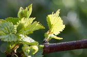 Young Inflorescence Of Grapes On The Vine Close-up.grape Vine With Young Leaves And Buds Blooming On poster