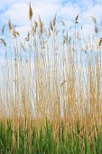 Full Reed Plants With Thin Stems,  Green Leafs And Yellow Stems Against A Soft Blue Cloudy Sky poster