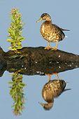 picture of anus  - Mottled Duck  - JPG