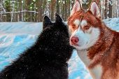 Siberian Husky Walk In Sunny Winter Forest. Portrait Red Husky Dog. poster