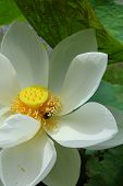 stock photo of corbel  - A lotus or water lily flower in asia - JPG