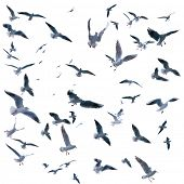 collection of seagulls in flight. sea birds. Isolated on white background. poster