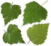 Leaf Of Birch Tree Isolated On White Background. Collection Of Fresh Green Leaves. Herbarium. Foliag poster