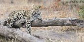 Leopard Resting On A Fallen Tree Log To Rest After Hunting poster