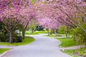 foto of cherry trees  - Cherry tree blossoms on a quiet country road - JPG