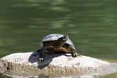 One Slider Turtle Sunning On A Rock, Looking To Viewers Right. Also Known As The Red-eared Terrapin, poster