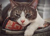 A Disgruntled Tabby House Cat Lies On A Sporty Red Shoe And Frowns Because He Considers The Shoe His poster