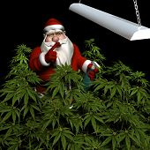 stock photo of humbug  - Santa watering his crop of medicinal marijuana under a grow light - JPG