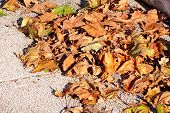 Colorful And Brown Autumn Leaves. Leaves Leaves From Trees. Fall Season, Seasons, September, October poster
