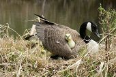 stock photo of mother goose  - Canada Goose Gosling getting comfortable under its mother - JPG