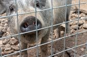 Black Cute Pig With A Black Snout Nose Behind The Metal Mesh Fence In The Country Farm poster