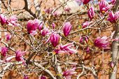 foto of japanese magnolia  - A japanese magnolia tree blooming in early spring - JPG