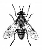 stock photo of gadfly  - Golden - JPG