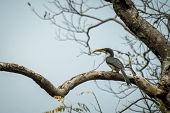 Sri Lankan Grey Hornbill Perches On A Dead Tree Without Leaves, Colorful Bird On Clear Background, Y poster