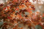 Golden Autumn Season In October. Fall Trees. Oak Tree With Red, Orange And Yellow Leav. Sunny Autumn poster