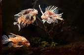 stock photo of lion-fish  - Red lion  - JPG
