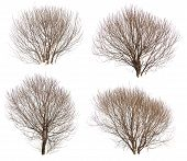 image of dead plant  - Leafless bushes in winter isolated on white background - JPG
