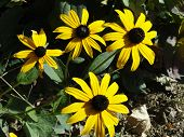 stock photo of black-eyed susans  - Sunny colors Black-Eyed Susans continue to provide color in an Autumn garden.