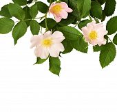 stock photo of wild-brier  - Wild rose isolated on a white background - JPG