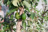 image of avocado tree  - closed up an avocado tree in a park - JPG