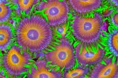 pic of fish-eagle  - This is a colony of brightly colored zoanthids encrusing a rock - JPG
